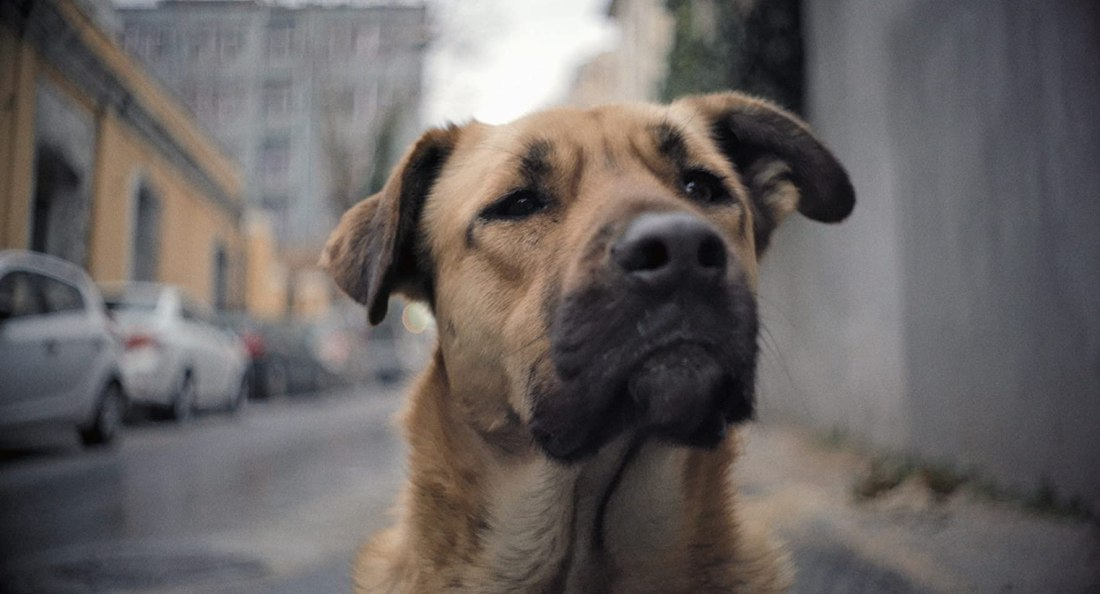 Image still from the documentary Stray. Zeytin, a tanned, muscular dog with dark eyes, gazes warmly into the camera.